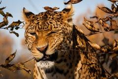 Panthera Stock Image