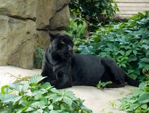 panthera di onca del giaguaro Immagini Stock Libere da Diritti