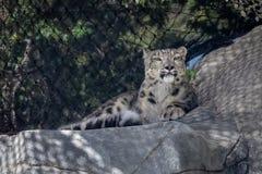Panthera do leopardo de neve uncial no jardim zoológico imagem de stock royalty free