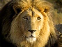 Panthera dorata di Leo del leone Immagine Stock