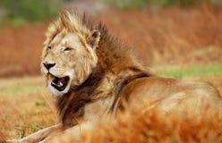 panthera för leo lionmanlig Royaltyfri Foto