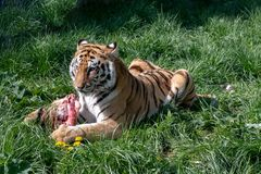 Panthera il Tigri della tigre siberiana anche conosciuto come la tigre dell'Amur immagine stock libera da diritti