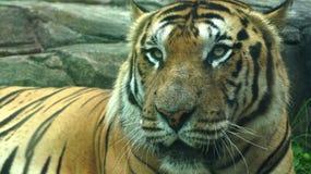 Panthera indien le Tigre de tigre Photos libres de droits