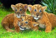 Panthera leo Ã- Tigris imagens de stock