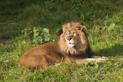 Panthera Leo Royalty Free Stock Photo