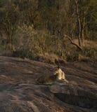 Panthera Leo Stock Image
