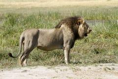 Panthera Leo Fotografía de archivo libre de regalías