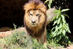 Panthera leo angry Stock Images