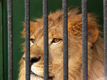 Panthera leo in the cage Stock Images