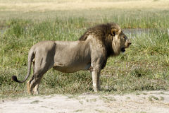 Powerful Predator. A classic perfect example of a powerful mature African male lion Royalty Free Stock Photography