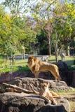 Panthera Leo Stock Images