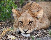 Panthera leo del cachorro de león fotografía de archivo libre de regalías