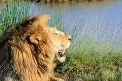 Panthera Leo del leone del maschio adulto Fotografie Stock Libere da Diritti