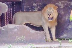 Panthera leo eller lejon Arkivfoto