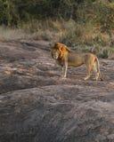 Panthera Leo I Immagini Stock Libere da Diritti