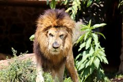 Panthera leo looking angry Stock Photography