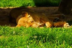 Panthera leo persica Stock Images