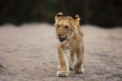Panthera leo - retrato de la leona joven que camina en lugar de la roca Fotos de archivo