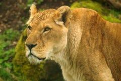 Panthera leo somaliensis Royalty Free Stock Image