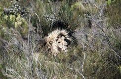 Panthera maschio Leo del leone che riposa fra la vegetazione immagini stock libere da diritti
