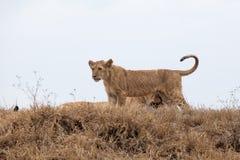 Panthera novo leo do filhote de leão fotos de stock royalty free