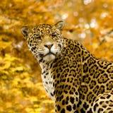 panthera onca ягуара Стоковые Фото