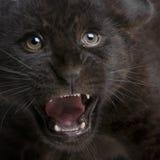 panthera onca 2 cub μηνών ιαγουάρων στοκ φωτογραφία