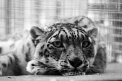 Panthera onca royalty free stock photography