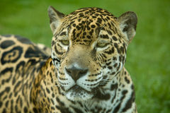 Panthera onca Stock Image