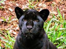 Panthera Onca de Melanistic Jaguar em um fundo natural fotografia de stock