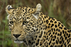 Panthera pardus Royalty Free Stock Photos