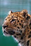 Panthera Pardus Royalty Free Stock Photo