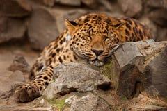 Panthera pardus leopard Stock Photo