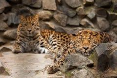 Panthera pardus leopard Royalty Free Stock Image
