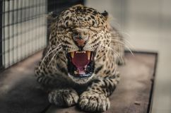 Panthera pardus melas Stockfotos