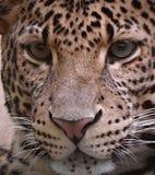 Panthera pardus melas head and eyes. Panthera pardus melas - Javan Panther -  head and eyes Royalty Free Stock Image