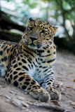 Panthera pardus orientalis Royalty Free Stock Photo
