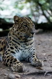 Panthera pardus orientalis Stock Images