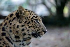 Panthera pardus orientalis Stock Photos