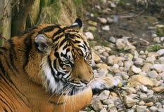 panthera Sumatra sumatrae tygrys Tigris Zdjęcie Stock
