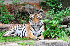 panthera Sumatra sumatraensis tygrys Tigris Zdjęcia Royalty Free