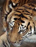 panthera sumatrae sumatran老虎底格里斯河 免版税库存照片