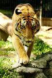 Panthera Tigris Stock Photo