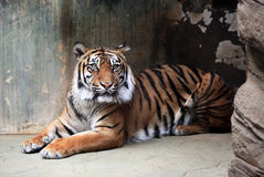 Panthera tigris Foto de Stock Royalty Free