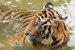 Panthera tigris Photographie stock