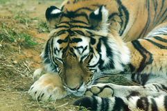 Panthera tigris altaica Stock Images