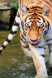 Panthera tigris altaica. Close up of the Siberian tiger Panthera tigris altaica, also called Amur tiger Royalty Free Stock Photo