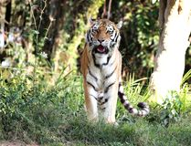 Panthera tigris altaica looking Royalty Free Stock Photos