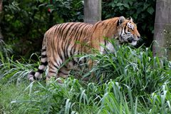 Panthera tigris altaica profile in zoo Royalty Free Stock Image