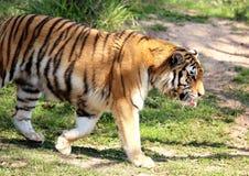 Panthera tigris altaica walking Stock Images